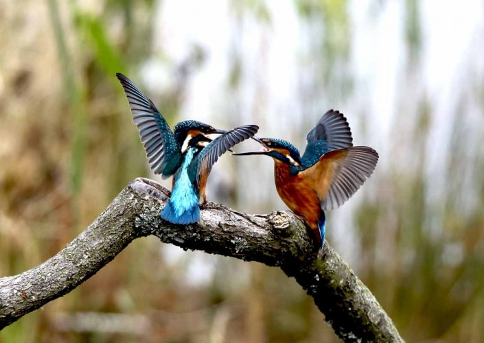 14 kingfisher fighting by terry bagley somerset dorset surrey