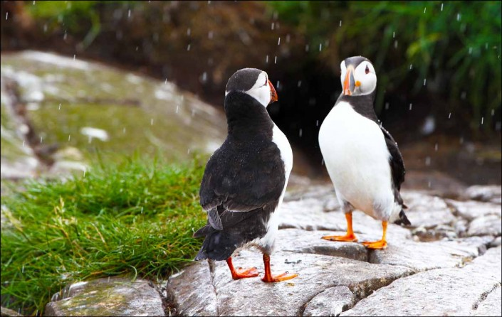 2 puffin voted 10 place british national bird farne islands mull