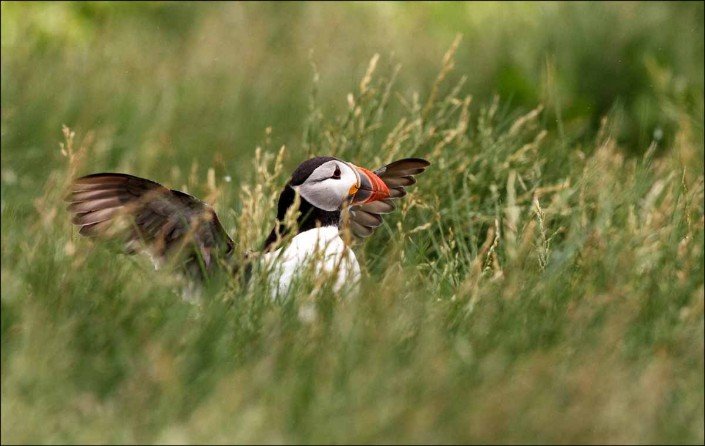 9 puffin voted 10 place british national bird farne islands mull
