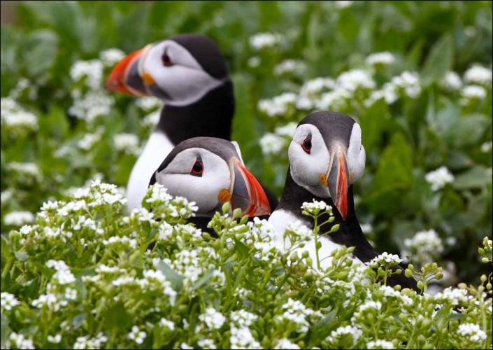 12 puffin voted 10 place british national bird farne islands mull