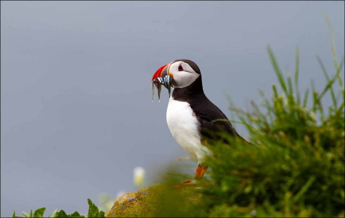13 puffin voted 10 place british national bird farne islands mull