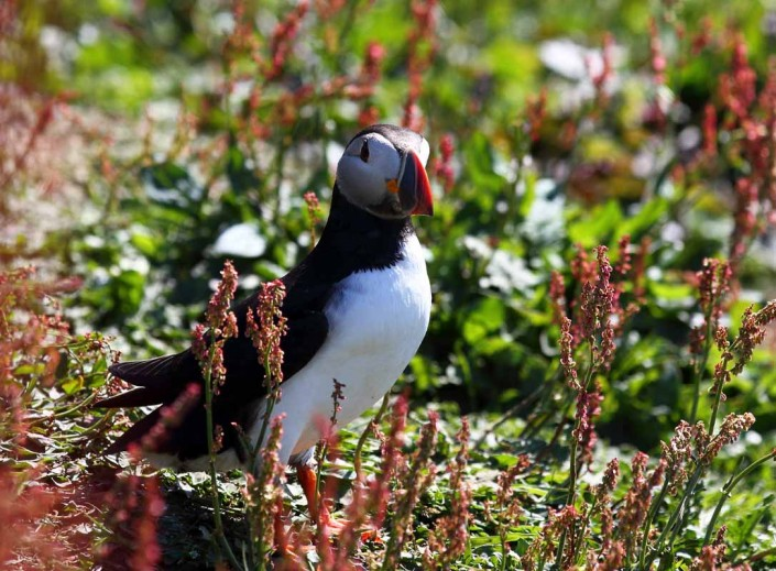 19 puffin voted 10 place british national bird farne islands mull