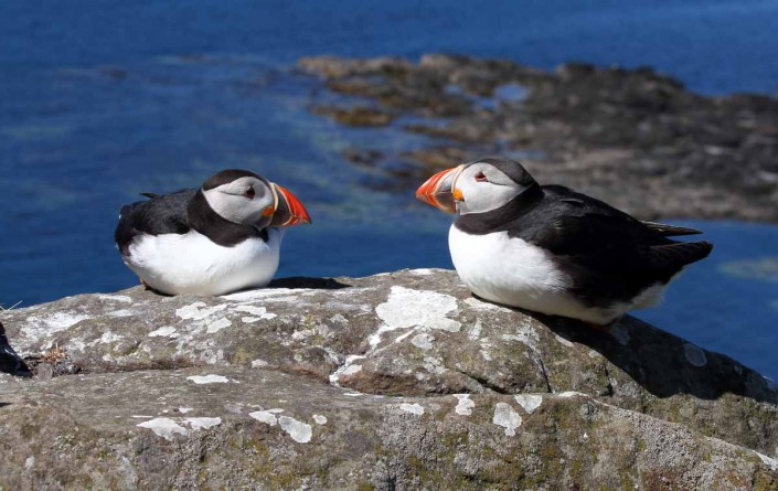 25 puffin voted 10 place british national bird farne islands mull