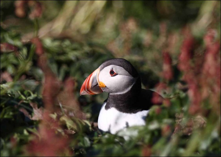 27 puffin voted 10 place british national bird farne islands mull