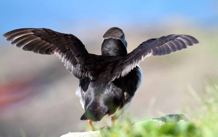 31 puffin voted 10 place british national bird farne islands mully