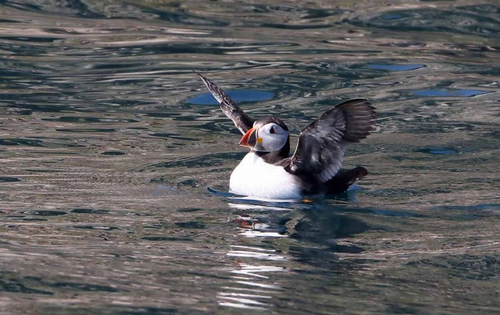 37 puffin voted 10 place british national bird farne islands mull