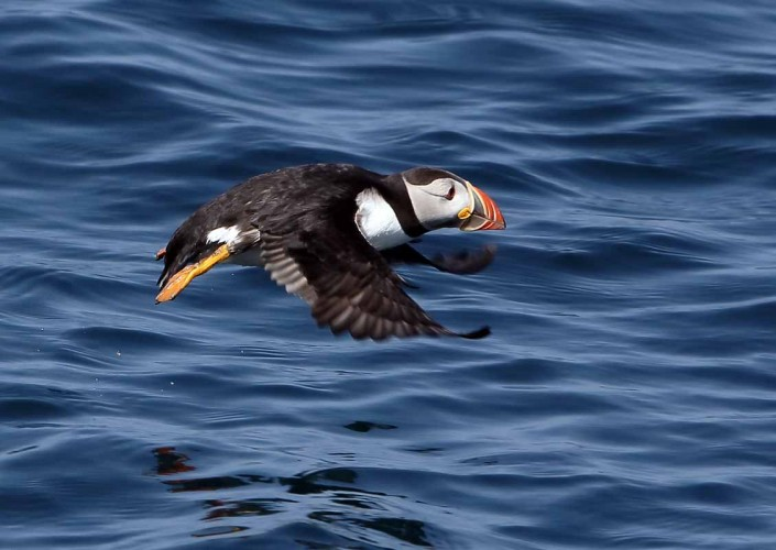 38 puffin voted 10 place british national bird farne islands mull