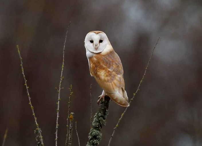 3 british birds barn owl merriott somerset