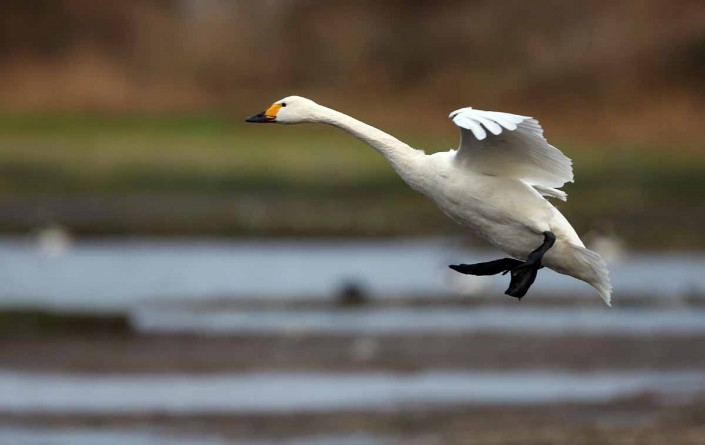 british wildlife bewicks swan by terry bagley