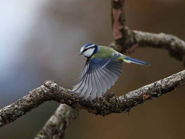 british wildlife birds blue tit by terry bagley