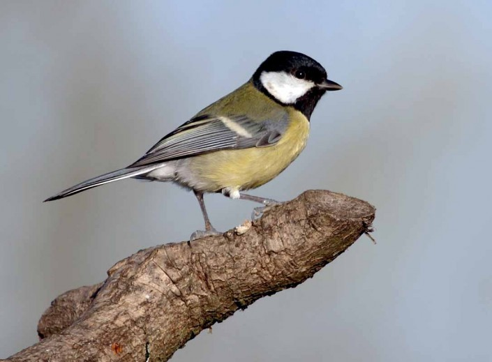 british wildlife birds great tit by terry bagley