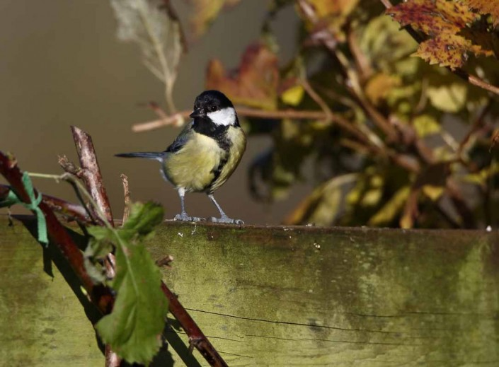 british wildlife birds great tit