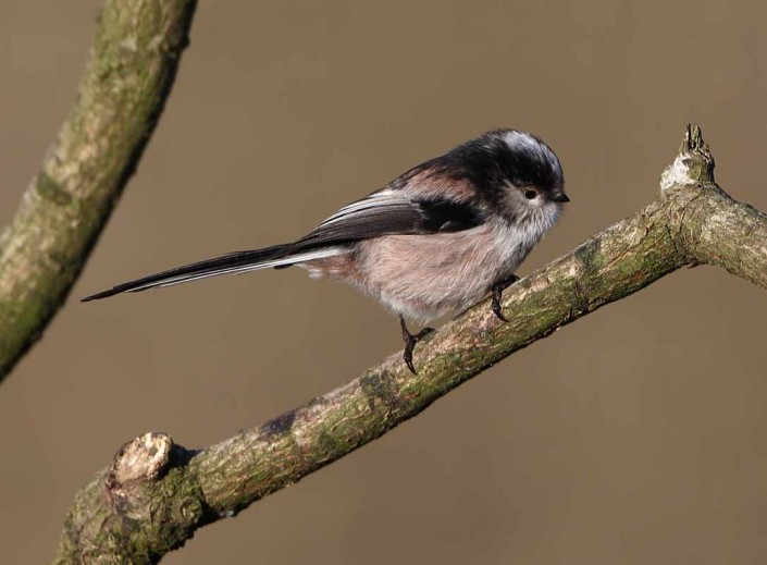 british wildlife birds long tailed tit