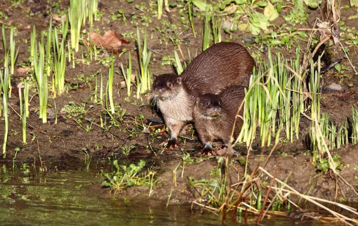 british wildlife blandford dorset otter and pup kit welk