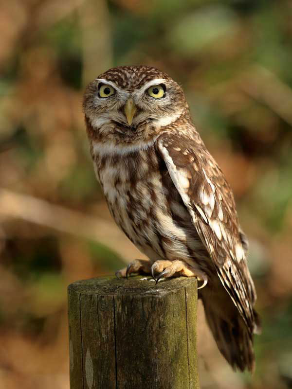 british wildlife little owl terry bagley