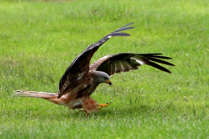 Red Kite at Rhayader Wales UK 1