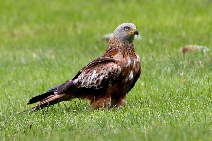 Red Kite at Rhayader Wales UK 2