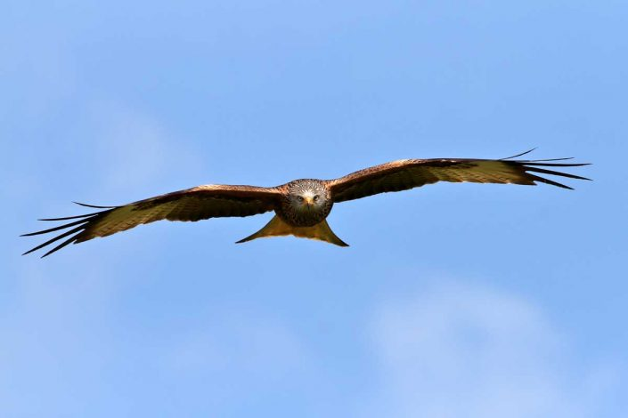 Red Kite at Rhayader Wales UK 4