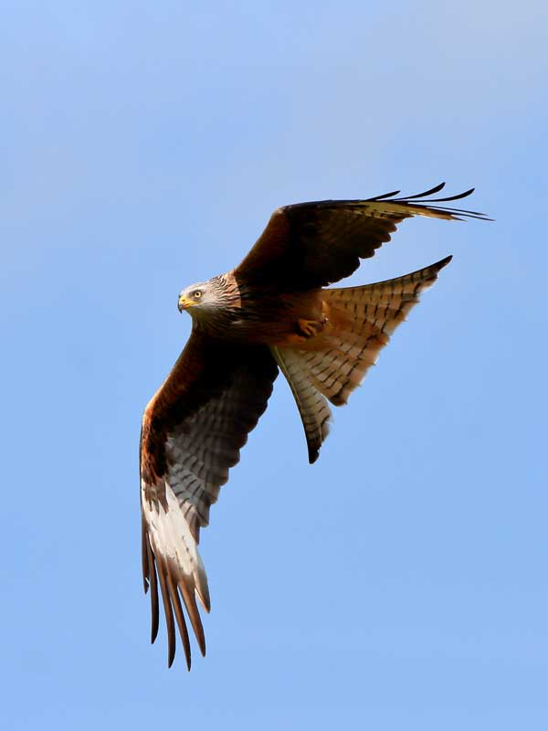 Red Kite at Rhayader Wales UK 5