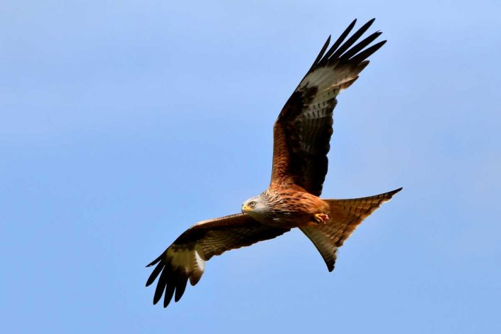 Red Kite at Rhayader Wales UK 6