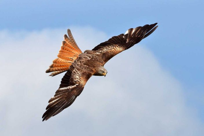 Red Kite at Rhayader Wales UK 7