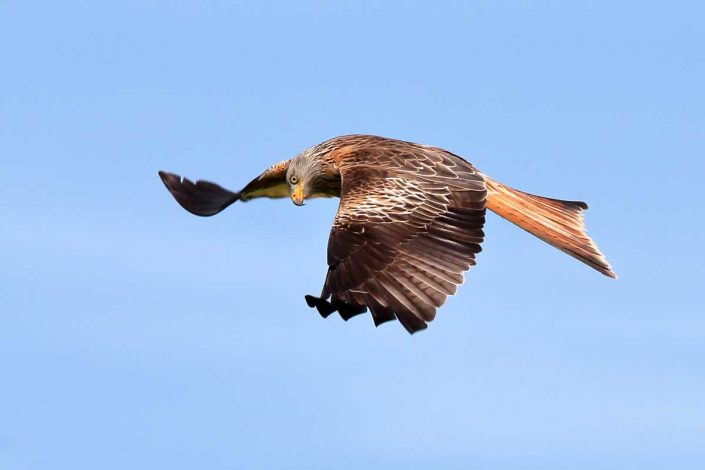 Red Kite at Rhayader Wales UK 8