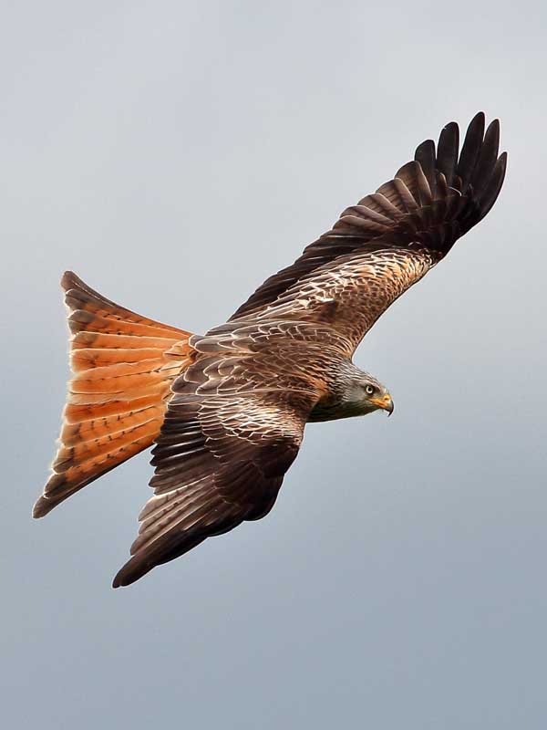 Red Kite at Rhayader Wales UK 9