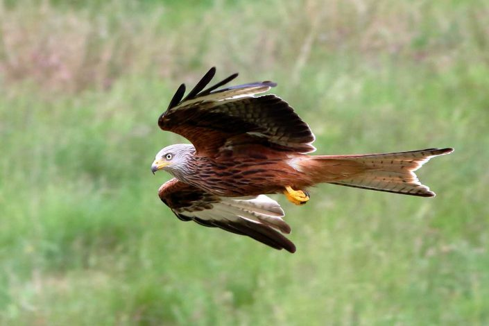 Red Kite at Rhayader Wales UK 10
