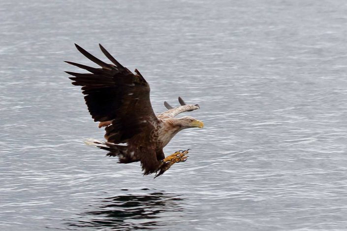 white-tailed sea-eagle mull scotland 1