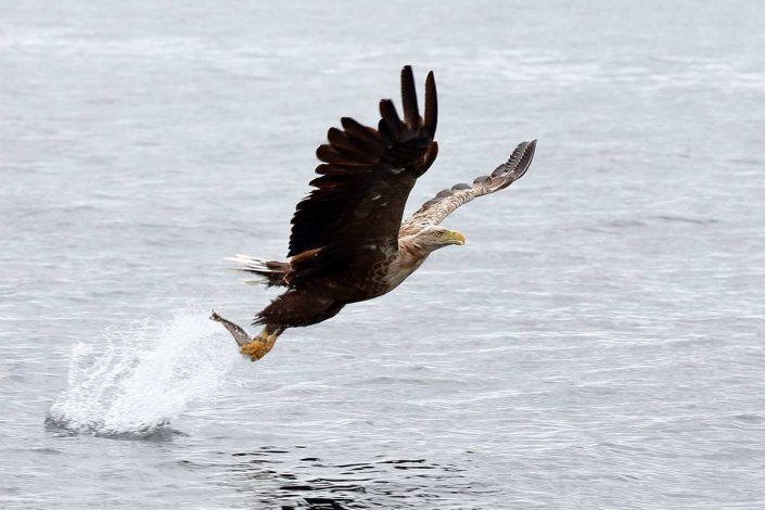white-tailed sea-eagle mull scotland 2