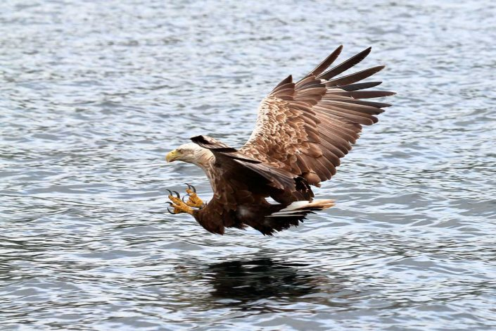 white-tailed sea-eagle mull scotland 3