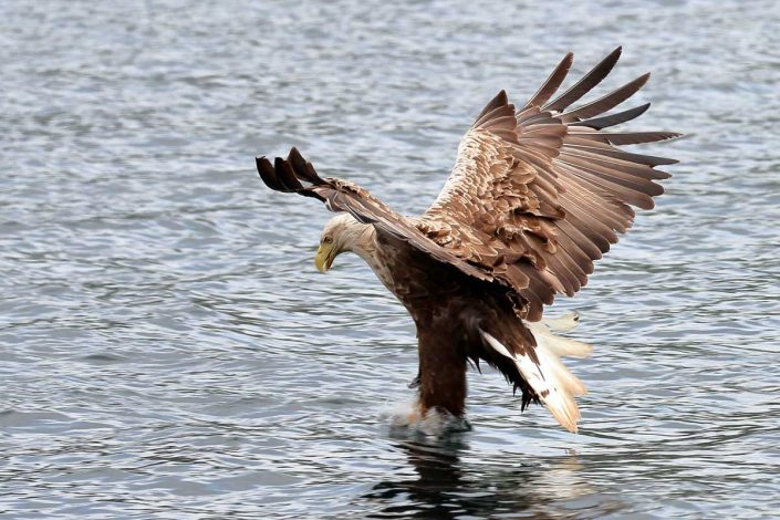 white-tailed sea-eagle mull scotland 4