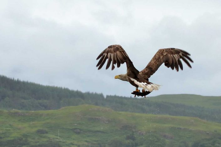 white-tailed sea-eagle mull scotland 8