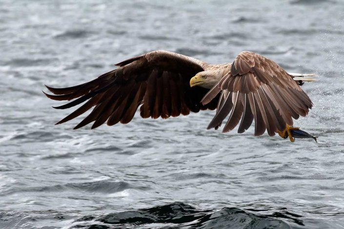 white-tailed sea-eagle mull scotland 9