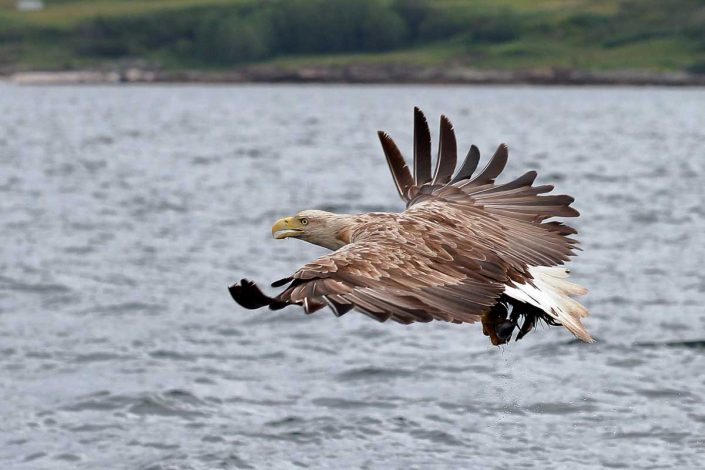 white-tailed sea-eagle mull scotland 10