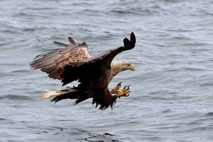 White-tailed sea-eagle, Mull, Scotland 11